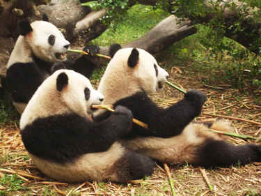 Sitting Pandas Eating Bamboo