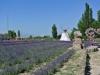 Yining Lavender Garden-2013:6-1