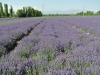 Yining Lavender Garden-2013:6-2