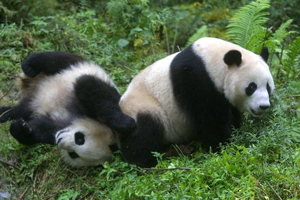Giant Panda in China playing on green hillside