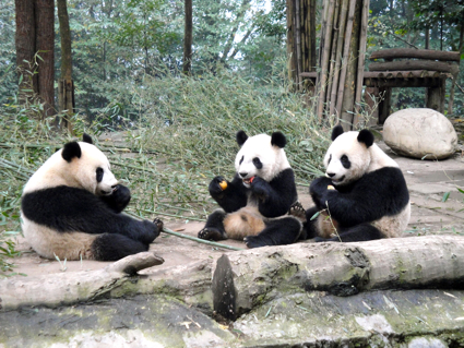 three panda bears sitting and eating