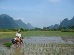 Yangshuo-tour rice paddy