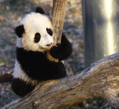 Young Panda - Tai Shan who was born at the D.C. National Zoo